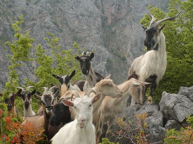Dobra vijest za buduće uzgajivače koza dolazi iz Mostara