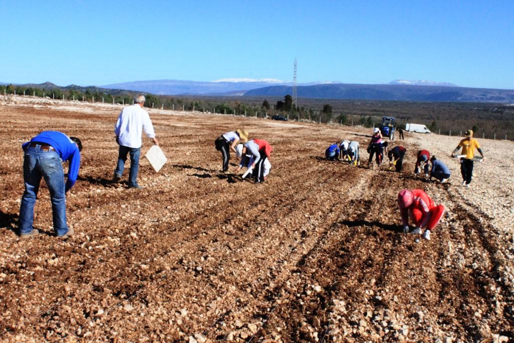 Općina Posušje novčano podupire uzgajivače smilja