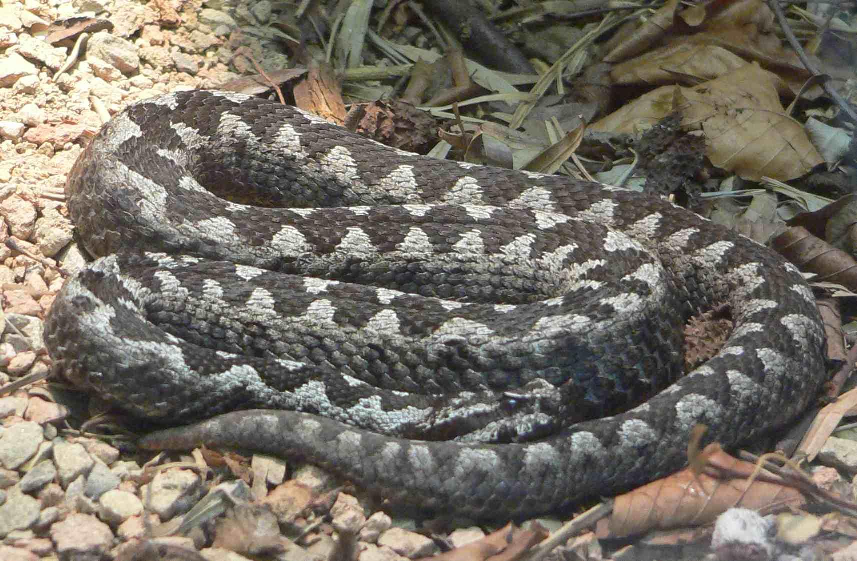 Najezda zmija u Hercegovini, nalaze ih i blizu kuća