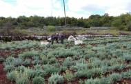 Na zemlji bez kamena posadili 7000 sadnica smilja i u 4 i pol mjeseca ubrali 1200 kilograma