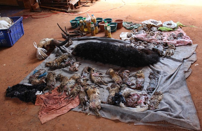 U budističkom hramu pronađeno 40 smrznutih mladunaca tigra