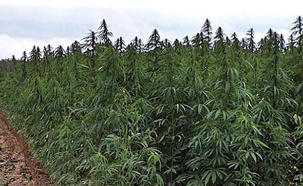 Policija otkrila plantažu marihuane od 272. stabljike u Drinovcima kod Gruda