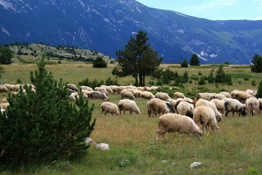Stigla je jesen, pastiri zajedno sa stadom napuštaju planine