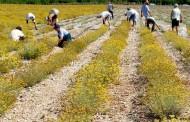 Najprije popisivanje svih plantaža smilja, pa brendiranje hektara