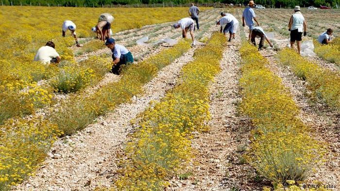 U Hercegovini čak 30 milijuna stabljika smilja, prerađivački pogoni u svakoj općini