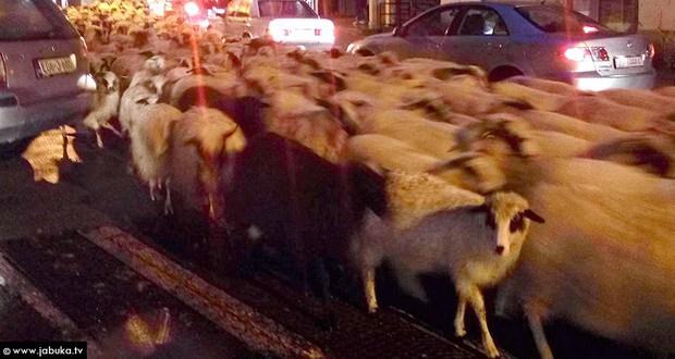 VIDEO: Stado ovaca prodefiliralo središtem Širokog Brijega