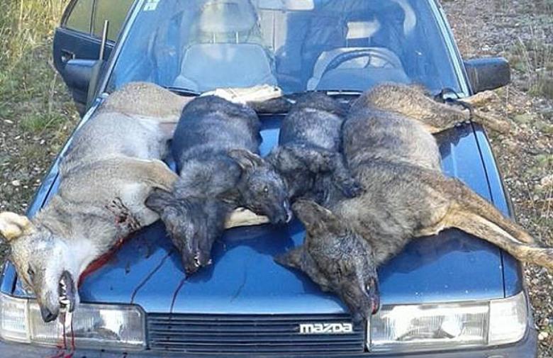 POSUŠJE: Lovci i farmeri spremni za vučje napade
