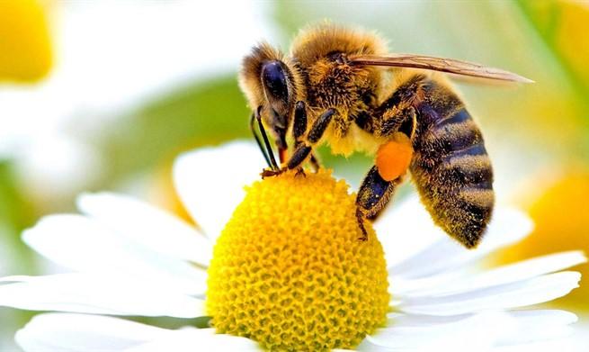 Pčelari više nego zabrinuti: Pčele nestaju alarmantnom brzinom