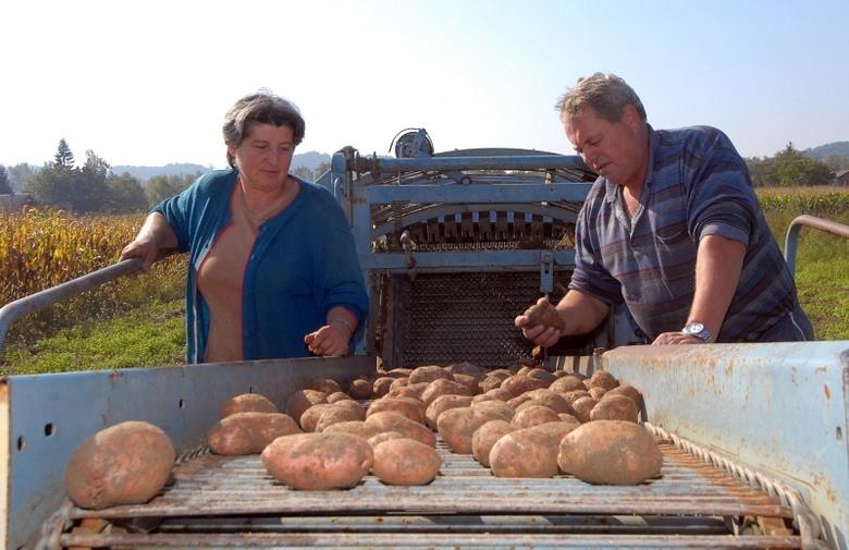 Krumpir iz BiH prolazi sve provjere i traži ga Europa