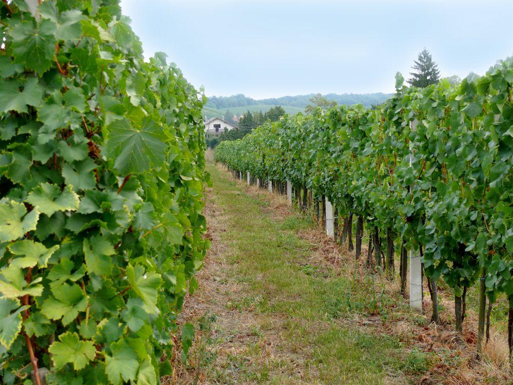 Poziv na prijave: Mogućnost razvoja vinogradarstva u općini Posušje