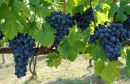 Mogućnosti uzgoja vinove loze u općini Posušje