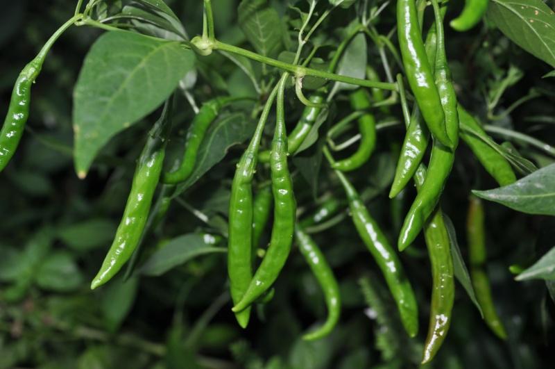 Mogućnosti uzgoja feferona u Posušju