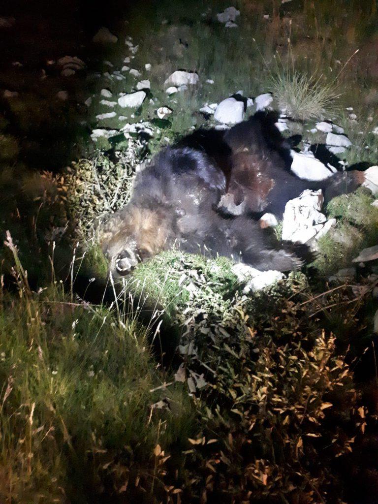ubijen-medvjed-blidinje-1