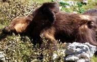Bezobziran krivolov: Na području Blidinja ubijen medvjed