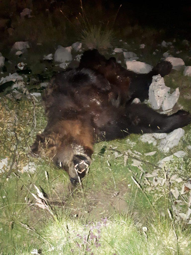 ubijen-medvjed-blidinje-3