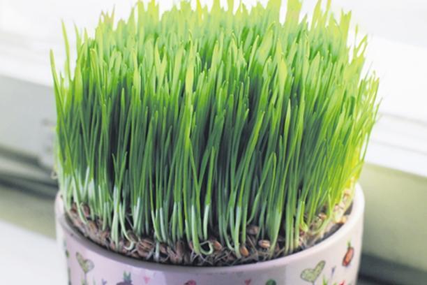 STARI OBIČAJ: Ovo je razlog za to što pšenicu sijemo upravo na svetu Luciju