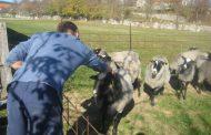 """REKORDI: Na farmi Tomić u Rakitnu ovca ojanjila """"četvorke"""""""