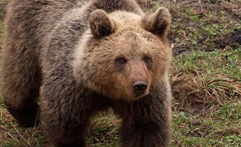 Medvjedi i vukovi opasno se približavaju kućama u Kupresu