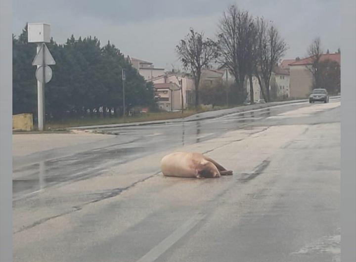 Počela svinjokolja: U Posušju svinja završila na cesti
