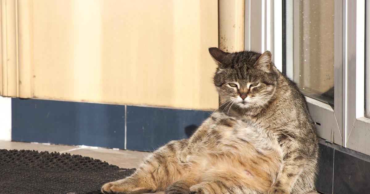 Hitno joj propisali dijetu: 'U 13 godina koliko radim, nikad nisam vidjela ovako debelu mačku!'