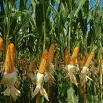 FEDERACIJA BIH: Smanjena proizvodnja kukuruza, duhana, šljive, oraha, kruške