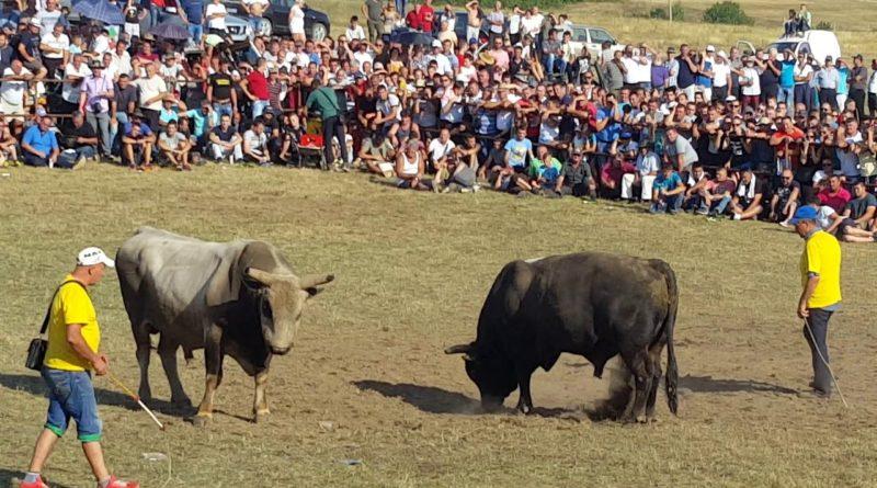 Spektakularna borba bikova u Posušju