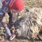 Ugriz zaštićenog poskoka usmrtio kozu, ovcu i ovna!