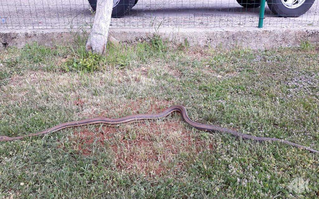 Sve veće zmijurine se pojavljuju u blizini kuća u Hercegovini, ova od 161 cm se pojavila u Mokrom kod Širokog Brijega