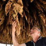 Hercegovački duhan dobio međunarodnu zaštitu izvornosti