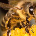 Što učiniti kada vas ubode pčela: Jednu stvar nemojte nikako