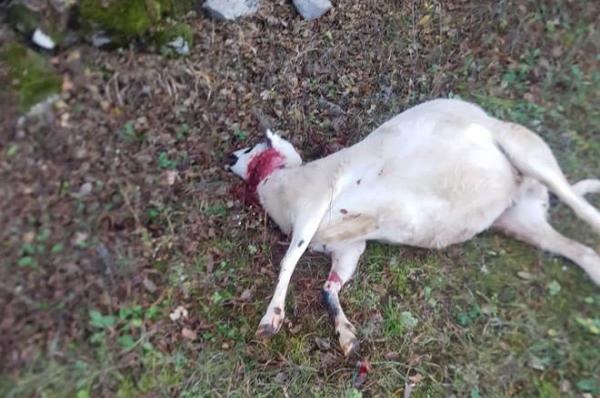 Užas kod Gruda, Milijan ostao bez 8 ovaca i 5 janjadi… dobar dio blaga ranjen
